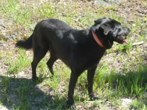 Black labrador cross bred with German Shepherd, dog in Portugal