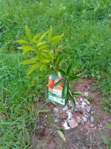 orange tree, sapling