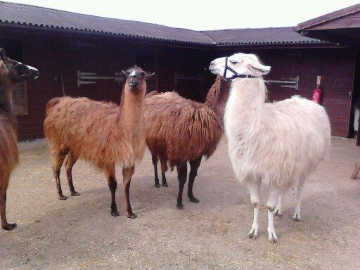 Domestic llamas, llama farm