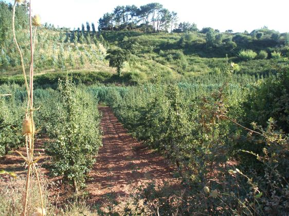 countryside portugal, Serra de Montejunto, pear orchards, apple orchard, pear tree
