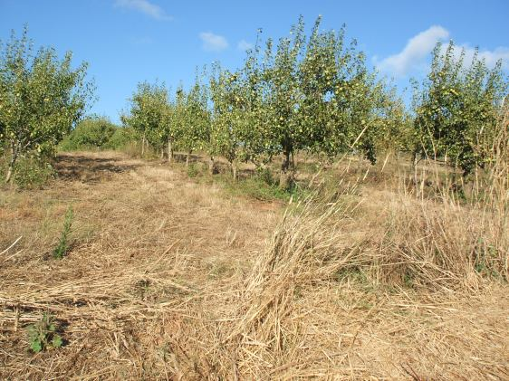 pear orchard, pears, pears portugal