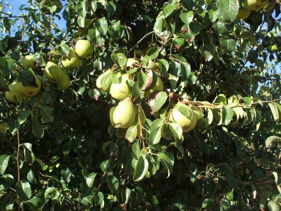 pears, pear tree,