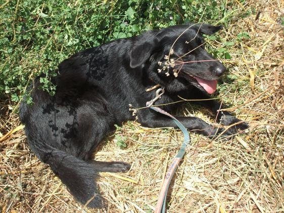 Dog outdoors, dog lying down, dog in countryside, dog with lead, black dog, labrador cross, German shepherd cross