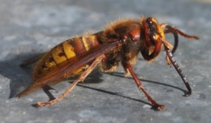 hornet_insect_wasp_bee_